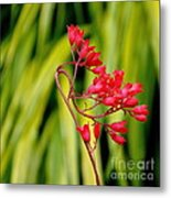 Coral Bells Blooming Metal Print