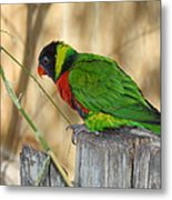 Lorikeet Parrot Sitting On A Fence Post  Metal Print