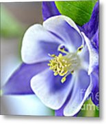Purple Columbine Bloom Metal Print