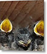 Raising Baby Birds  Www.pictat.ro Metal Print by Preda Bianca Angelica