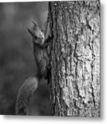 Red Squirrel In Bw Metal Print