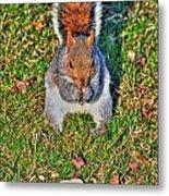 06 Grey Squirrel Sciurus Carolinensis Series Metal Print