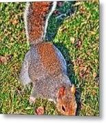 08 Grey Squirrel Sciurus Carolinensis Series Metal Print