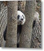 A Baby Panda Plays On A Branch Metal Print