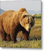 A Brown Grizzly Bear Ursus Arctos Metal Print