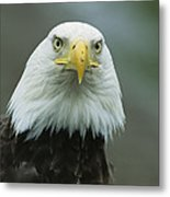 A Close View Of An American Bald Eagle Metal Print
