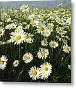 A Field Filled With Daisies In Bloom Metal Print