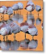 A Flock Of Migratory Flamingos Roost Metal Print