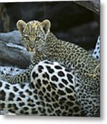 A Leopard  Cub, Panthera Pardus Metal Print