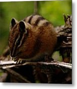 A Little Chipmunk Metal Print