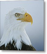 A Portrait Of An American Bald Eagle Metal Print
