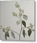 A Seeded Eucalyptus Eucalyptus Cinerea Metal Print