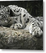 A Snow Leopard Takes Time Out To Rest Metal Print