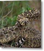 A Western Diamondback Rattlesnake Metal Print