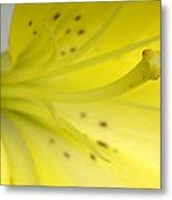 A Yellow Lily Lilium Canadense Metal Print