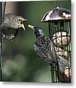 Adult Starling Feeds A Juvenile Metal Print