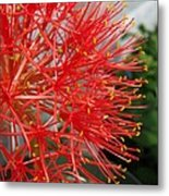African Blood Lily Or Fireball Lily Metal Print