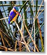 African Pigmy Kingfisher Metal Print