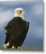 An American Bald Eagle Stands Metal Print