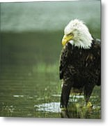 An American Bald Eagle Stares Intently Metal Print