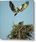 An Osprey Carrying A Fish Back Metal Print
