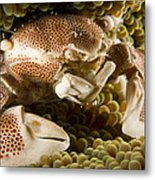 Anemone Or Porcelain Crab In Its Host Metal Print