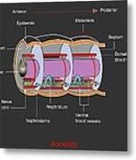 Annelid Worm Anatomy Metal Print by Francis Leroy, Biocosmos