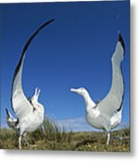 Antipodean Albatross Diomedea Metal Print
