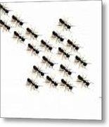Ants, Forming An Arrow Metal Print