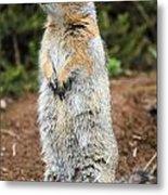 Arctic Ground Squirrel Metal Print