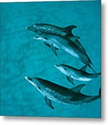 Atlantic Spotted Dolphins Metal Print