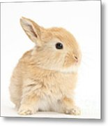 Baby Lop Rabbit Metal Print