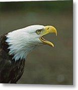 Bald Eagle Haliaeetus Leucocephalus Metal Print