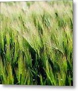 Barley, Co Down Metal Print