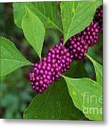 Beauty-berry Metal Print