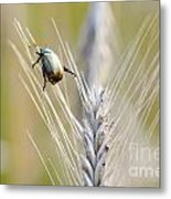 Beetle On The Wheat Metal Print