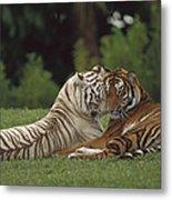 Bengal Tiger Panthera Tigris Tigris Metal Print by Konrad Wothe