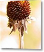 Black-eyed Susan After The Winter Metal Print