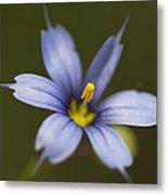 Blue-eyed Grass Wildflower - Sisyrinchium Angustifolium Metal Print
