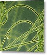 Blue-green Algae Metal Print by Sinclair Stammers