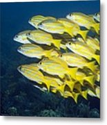 Blueline Snappers Metal Print