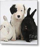 Border Collie Pups With Black Rabbit Metal Print