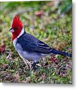 Brazillian Red-capped Cardinal Metal Print
