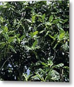 Breadfruit Metal Print