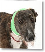 Brindle Lurcher Wearing A Bandage Metal Print