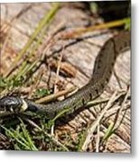 British Grass Snake Metal Print