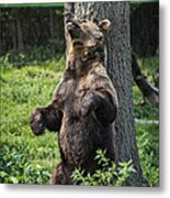 Brown Bear Itch Metal Print