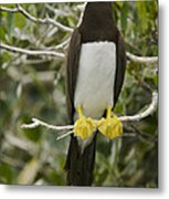 Brown Booby, Sula Leucogaster Metal Print by Tim Laman