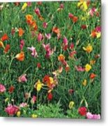 California Poppies Metal Print