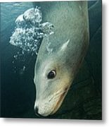 California Sea Lion Metal Print by Alexis Rosenfeld